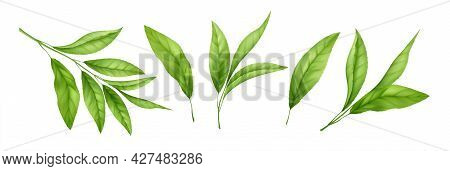 Set Of Realistic Green Tea Leaves And Sprouts Isolated On White Background. Sprig Of Green Tea, Tea