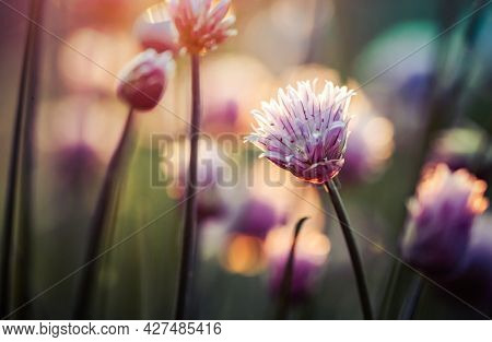 chives blooming at sunset purple nature background