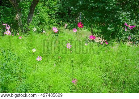Floral Natural Summer Background With Cosmos Bipinnatus Blooming In The Park