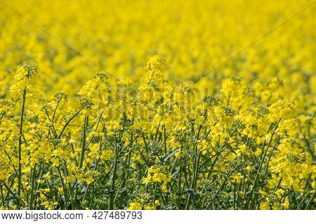 A Field With Yellow Blossoms Of Oilseed Rape In Springtime