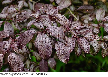 Dark Burgundy Glossy Leaves In Raindrops Natural Abstract Background