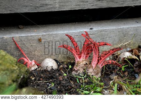 The Fruiting Body Grows From An Egg, Which Is Once Again Hidden In The Soil, It Is Attached By Sever