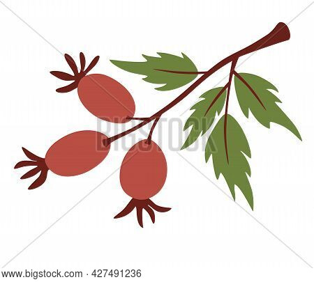 Rosehip Branch. Cute Twigs With Berries. Red Wild Rosehip Berries On Branch With Green Leaves. Botan