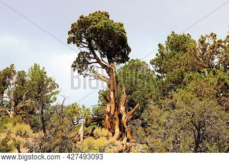 Windswept Cedar Trees With Its Twisted Branches On A Mountain Ridge Taken At An Alpine Forest In The
