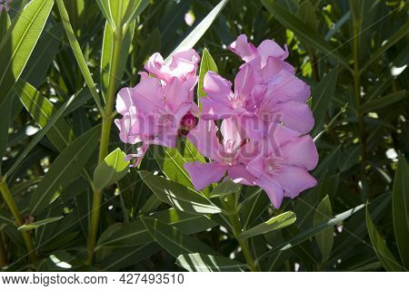 Closeup Beautiful Pink Oleander Flowers Background With Bright Green Leafs. Mediterranean Flora Of C