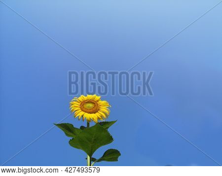 Sunflower field. Sunflower with blue sky and clouds. Summer background, bright yellow sunflower over