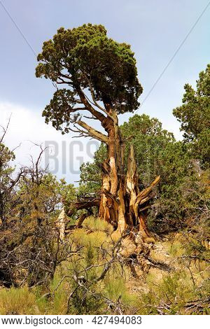 Old Growth Cedar Tree Besides An Alpine Meadow Taken At A Temperate Coniferous Forest In The Rural S