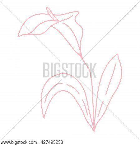 Single Delicate Beautiful Calla Flower Line Art, Vector Illustration. Botanical Simple Element For D