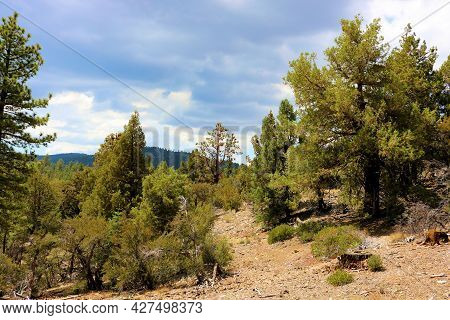 Cedar And Pine Trees Besides An Alpine Meadow Taken At A Temperate Coniferous Forest In The Rural Sa