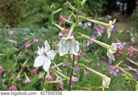 Nicotiana Alata Is A Species Of Tobacco. It Is Called Jasmine Tobacco, Sweet Tobacco, Winged Tobacco