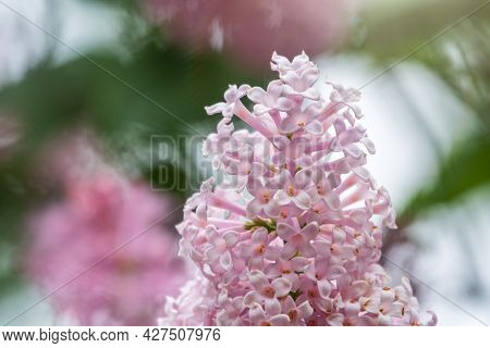 Pink Blooming Lilac Flowers In Spring. Branches With Spring Lilac Flowers