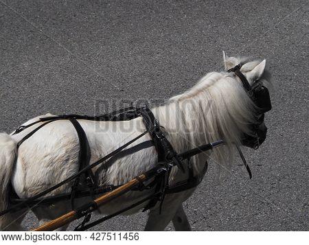 White Pony Horse (scientific Name Equus Ferus Caballus)