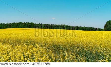 Raw Materials For The Production Of Rapeseed Oil. Canola Vegetable Oil Raw Materials. Field Of Yello
