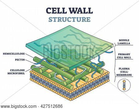 Cell Wall Structure With Plant Cellular Parts Description Outline Diagram. Labeled Educational Model