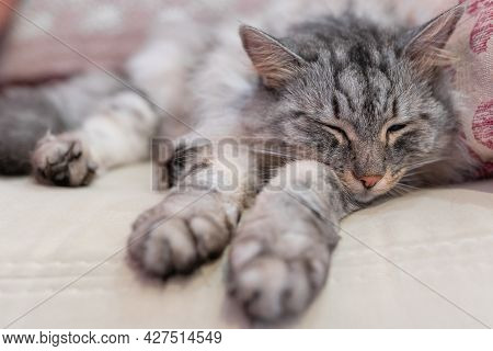 Gray Fluffy Cat Sleeps Stretching Its Legs Forward On A Soft Comfortable Sofa
