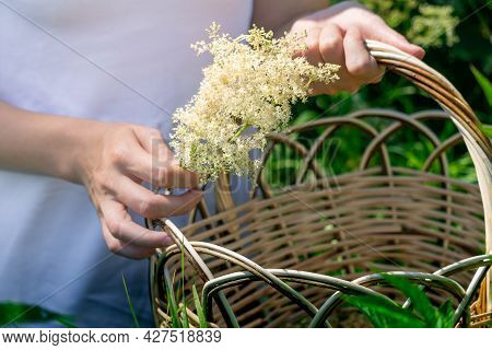 Young Woman Herbalist Gathers Meadowsweet Inflorescences In A Basket In The Meadow, Hands Close-up
