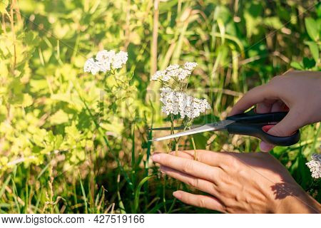 Hands Of A Woman Herbalist Cut Off The Yarrow Inflorescences With Scissors Close-up On A Blurred Sun