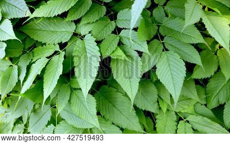 Beautiful Small Green Leaves. Green Leafy Background