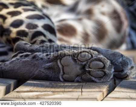 Leopard's Hind Foot. The Toe Pads And Metacarpal Paw Pad Are Clearly Visible. Leopard Lies On Wooden