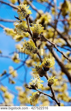 Tiny Pussy-willow Tree Branches With Yellow Fluffy Buds. Springtime And Summer Wild Nature Backgroun