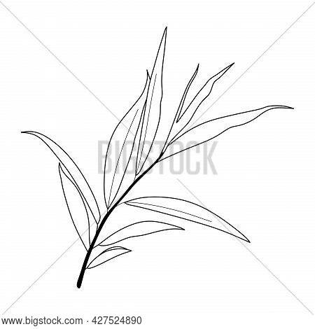 Illustration Of Eucalyptus Oil Leaf Isolated On White Background. Eucalyptus Oil Leaf Sketch