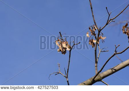 Norway Maple Seeds On Branches - Latin Name - Acer Platanoides