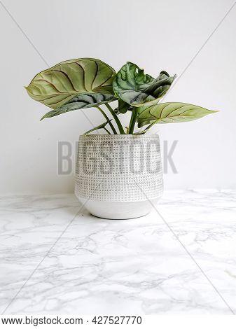 Alocasia Silver Dragon Or Silver Jewel Alocasia ( Alocasia Beginda) In A White Planter Against A Whi