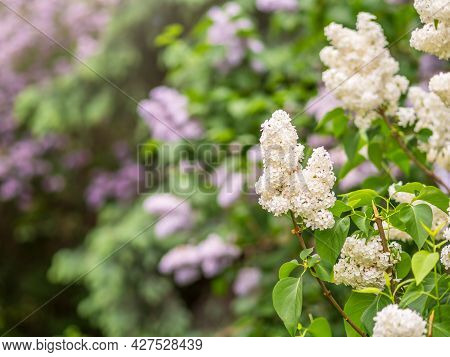 White Blooming Lilac Flowers In Spring With Blured Background