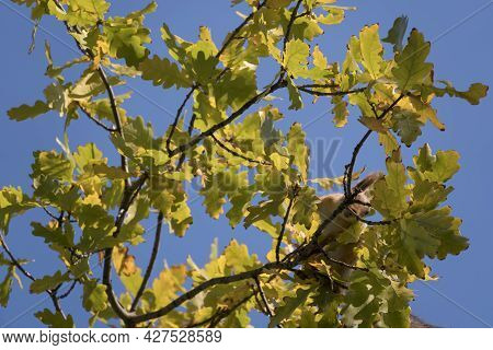 Find A Squirrel On The Branches. A Squirrel Hides In The Branches Of A Tree. Squirrel In Tree Eating