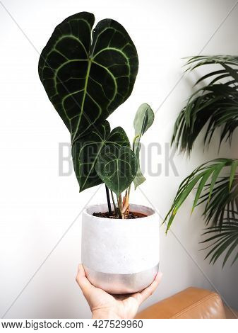 Hand Holding An Anthurium Clarinervium Or White - Veined Anthurium In A Planter Against A White Back