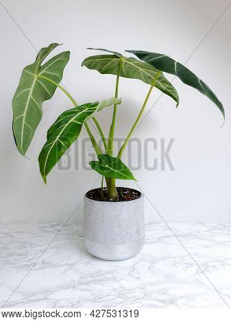 Alocasia Frydek ( Alocasia Micholitziana) Also Known As An Alocasia Green Velvet In A Planter Agains