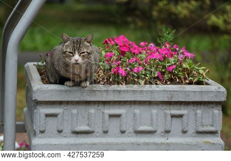 A Gray Cat Is Napping In A Concrete Flowerbed With Red Flowers