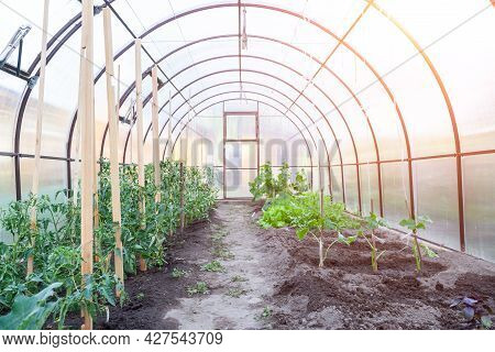 Conception Of Summer, Gardening, Healthy Food And Eco Products. The Small Greenhouse With Growing To