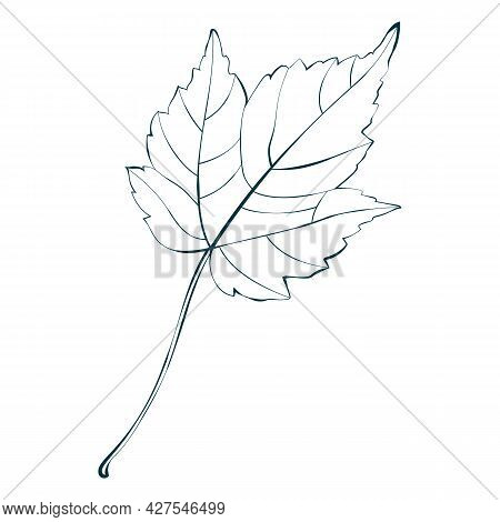 Autumn Maple Leaf Line Sketch Isolated On White Background