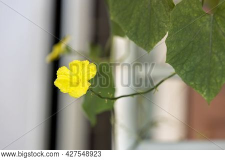 Zucchini Flower Blooming In The Garden. Yellow Flower Of Zucchini In The Summer Garden. Green Young