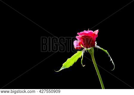 Single Rose Flower With Sepal And Pedicel During Day Sunlight On It And Isolated With Black Backgrou