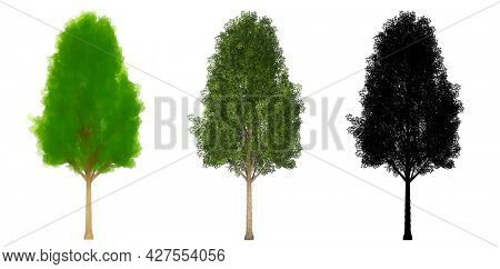 Set or collection of Black Poplar trees, painted, natural and as a black silhouette on white background. Concept or conceptual 3d illustration for nature, ecology and conservation, strength, endurance