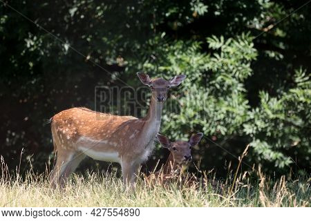 Roe Deer Family At The Edge Of The Forest