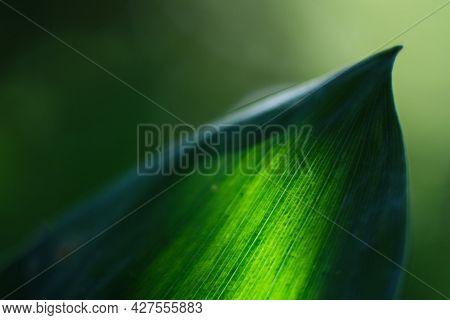 Translucent Green Leaf. Green Background From Vegetation. Blurred Leaf Background. Green Leaf With V