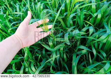 female hand touching young green wheaten sprouts or grass