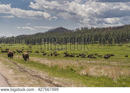 Black Hills, Keystone, Sd, Usa - May 31, 2008: Custer State Park. Green Landscape With Large Brown B