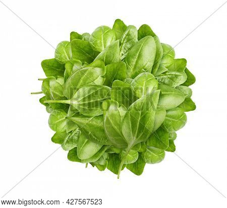 Spinach bunch of fresh green leaf. Healthy eating natural organic vegetable. Greens with bed, isolated on white background.