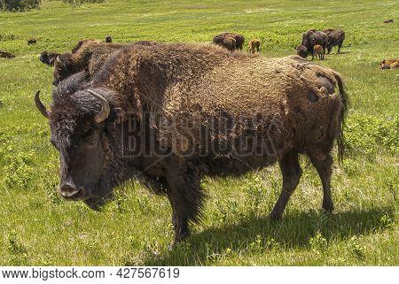 Black Hills, Keystone, Sd, Usa - May 31, 2008: Custer State Park. Closeup Of Big Brown Bison Bull St