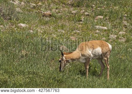 Black Hills, Keystone, Sd, Usa - May 31, 2008: Custer State Park. Closeup Of Grazing Deer With Small