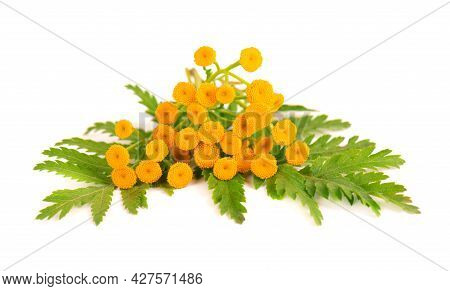 Tansy Or Tanacetum Vulgare Flowers, Isolated On White Background. Medicinal Herbal Plant.