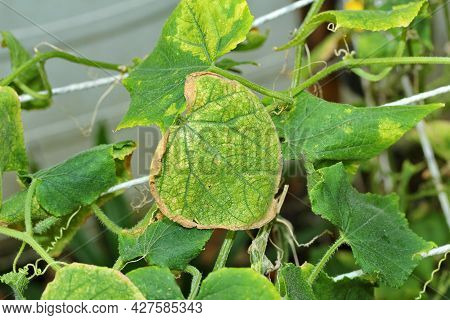 Leaves Of The Ivy Family That Are Downy Mildew.