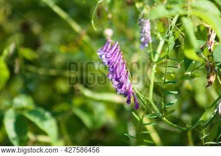 Hairy Vetch In Bloom Close-up View With Selective Focus