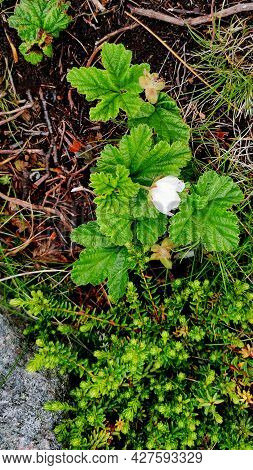 Cloudberry White Flower. Rubus Chamaemorus In Tundra Landscapes. Natural Vivid Background With Wild