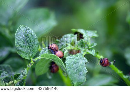 Larvae Of The Colorado Potato Beetle On Potato Leaves Close-up. Reproduction Of Colorado Potato Beet