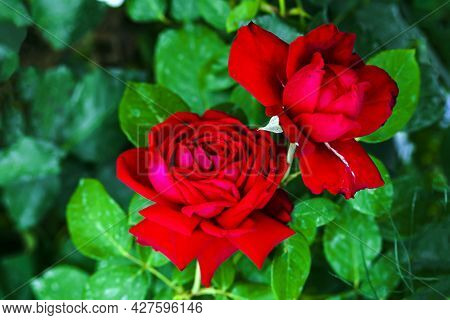 Two Red Rose Buds On Blurry Green Background Of Foliage Of Rose Bush. A Postcard Or Puzzles With Ros